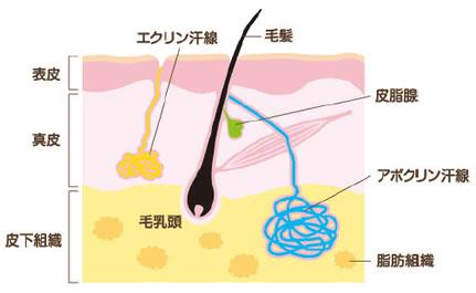 アポクリン汗腺断面図
